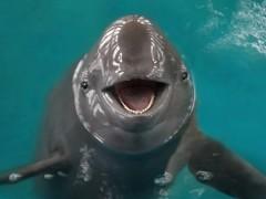 成群江豚上演冲浪比赛,禁渔的成果来了?细数江豚的坎坷历史